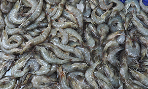 Grey shrimps